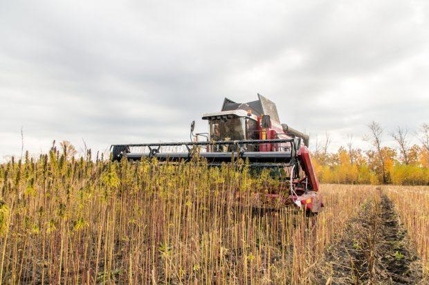 Harvesting hemp.
